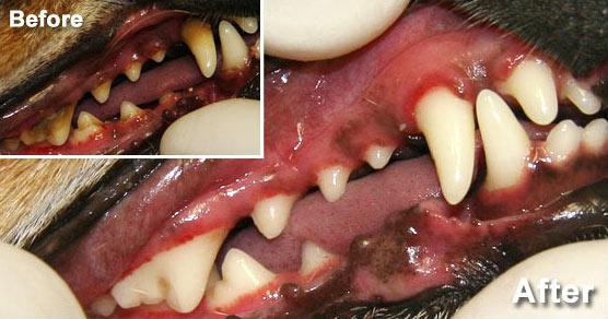 Ark dog dentistry